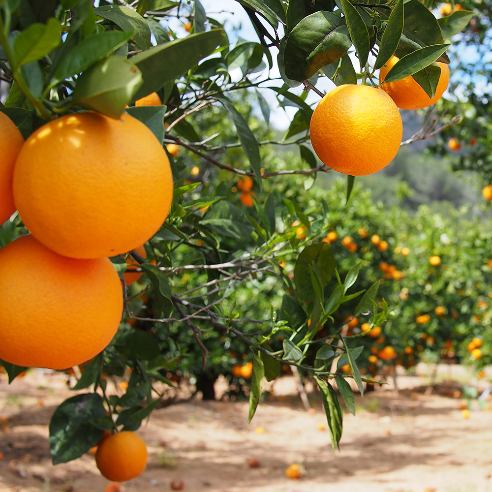 Fasouri citrus groves