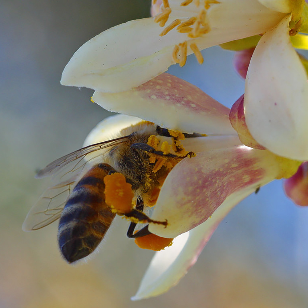 Bee on citrus blossom