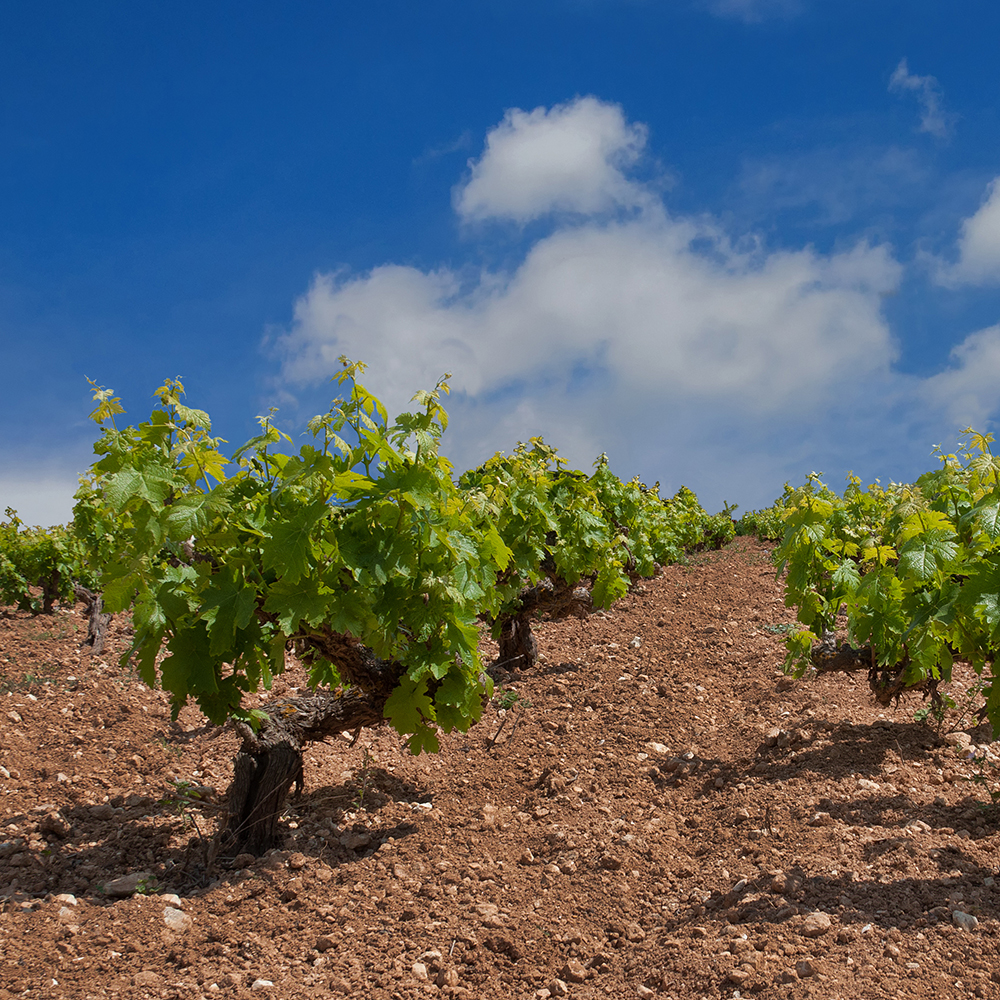 Limassol grape vines