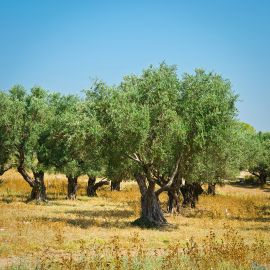 Olive trees in Erimi
